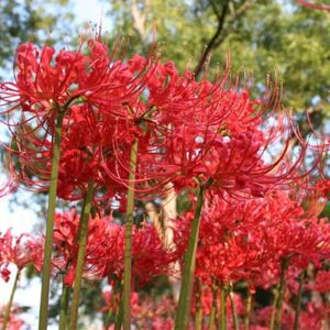 Free Set of Red Spider Lilies