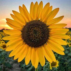 Free Morrisons Sunflower Seeds