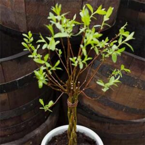 Free Willow Wand Plant